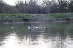 Canada Geese are now back at Century Ponds - click to enlarge