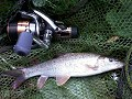 Another Chew Barbel landed by Rich Denning - click to view gallery
